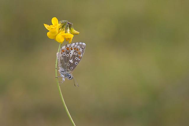 Polyommatus bellargus  The Adonis Blue male