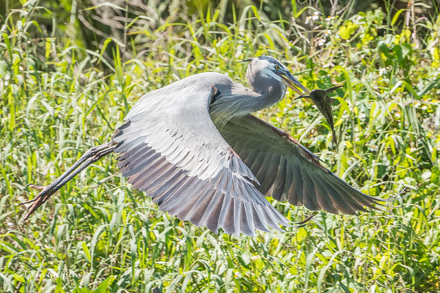 Great Blue Heron - Lunch aquired 502_5021.jpg
