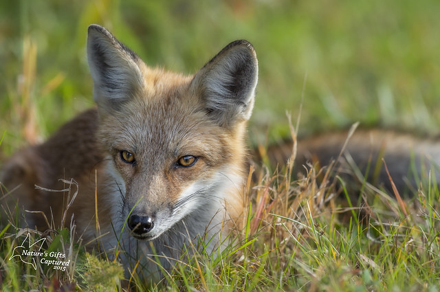 Red Fox - Chill-axing :)