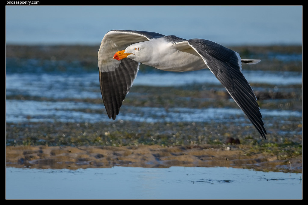 Pacific Gull: Morning Beach Patrol