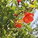 Pomegranate (Last year the healing garden had 2 tonne of pomegranates)