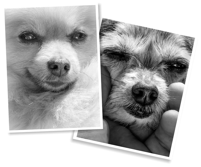 Boo the Pomeranian and Beanz the Miniature Yorkshire Terrier. . .