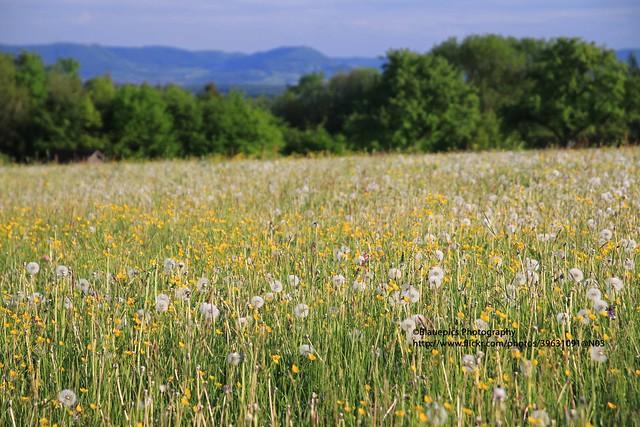 Hohengehren, Rainwiesen, flowers