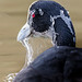 BPC Keep Photographing Week 8 Animal Coot Head out of water