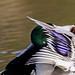 BPC Keep Photographing Week 8 Animal  Mallard Preening