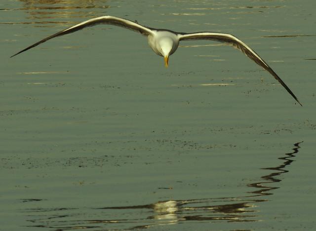 Great Black-back Gull in Flight IMGP9063