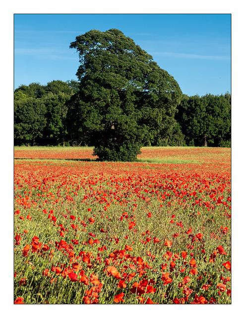 Plenty of poppies...