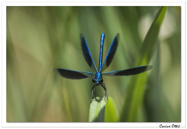 Libellules : Caloptéryx éclatant (Calopteryx splendens)