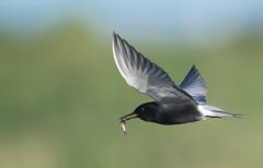 Black Tern (Chlidonias niger)