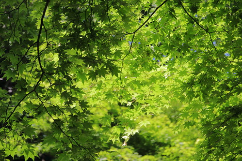 green freshgreen fresh 紅葉 楓 新緑