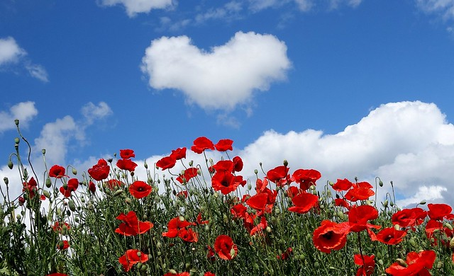 heart over poppies