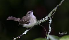 Phaeomyias murina