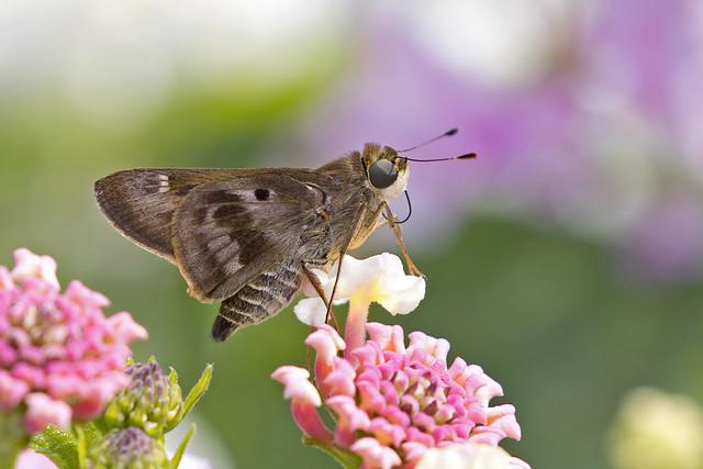Violet-banded Skipper (Nyctelius nyctelius nyctelius)