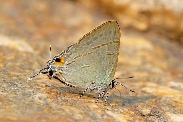 Hypolycaena erylus - the Common Tit