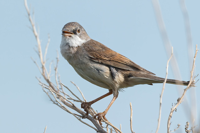 white Throat
