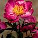 Wonderful Pink Peony 3-0 F LR 5-24-20 J027
