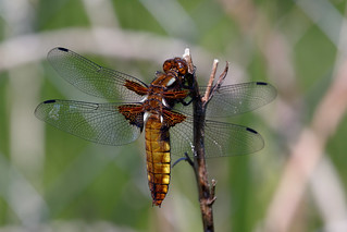 Broad-Bodied Chaser Dragonfly | by Stig Nygaard