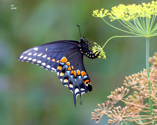 An EASTERN BLACK SWALLOWTAIL oviposits her eggs on Dill Weed, Haines City Florida USA 6/2/20