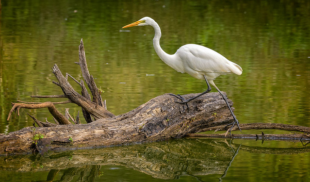 creatures of the wetlands- eastern great egret