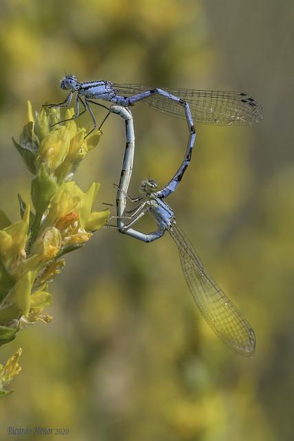 Enallagma cyathigerum. Mating