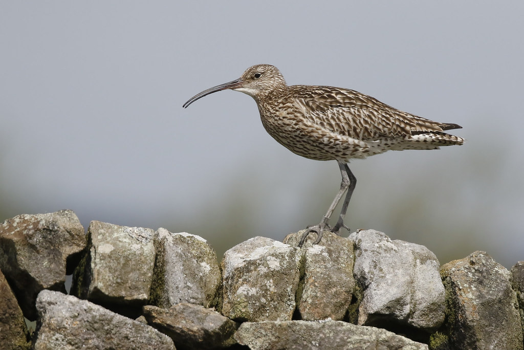 Curlew on a wall (Numenius arquata)