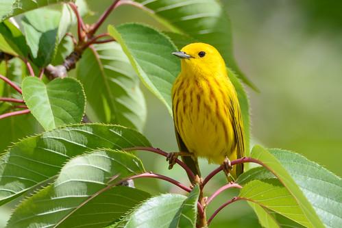 nikon nikond7100 tamronsp150600mmf563divc jdawildlife johnny portrait closeup eyecontact warblers warbleryellow yellowwarbler birds wow gorgeous