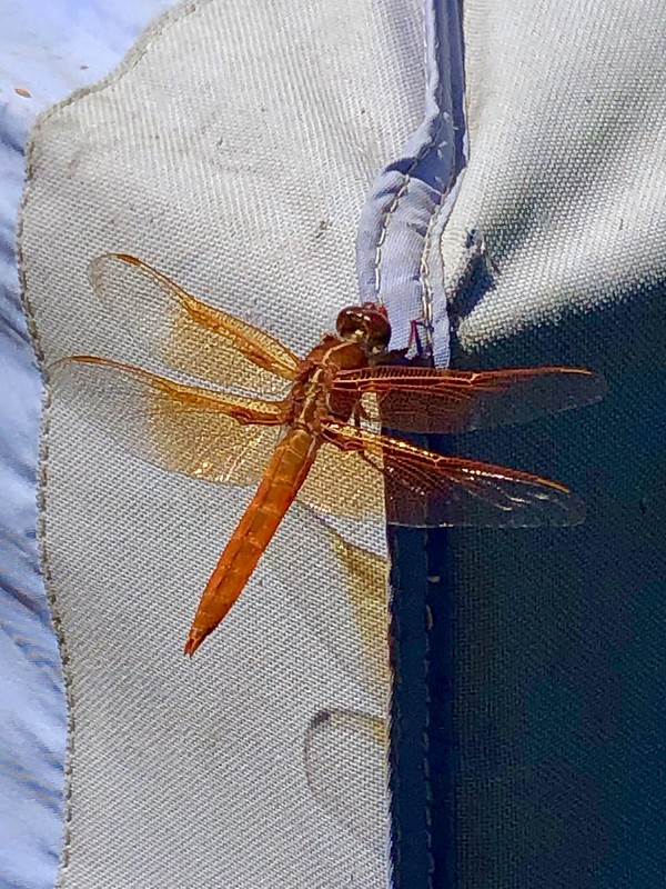 Male Flame Skimmer Dragonfly