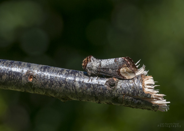 Buff Tip Moth, Phalera bucephala