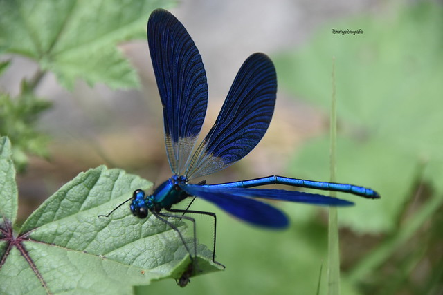 Die Blauflügel-Prachtlibelle (Calopteryx virgo), auch Gemeine Seejungfer genannt Blue winged dragonfly  Photo taken in the Krka Nationalpark