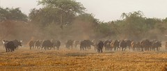 Central African buffaloes at Rigueik in Zakouma National Park, Chad
