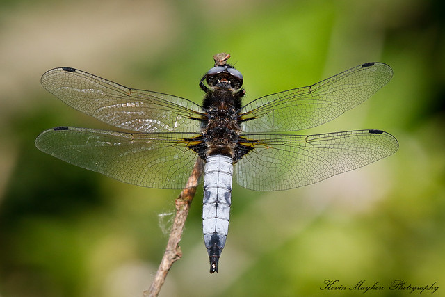 Scarce Chaser_82A4431