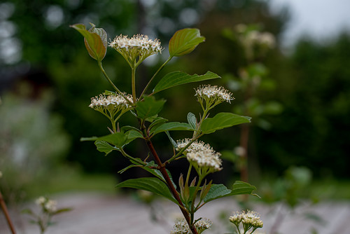Dogwood | by Stephen Downes