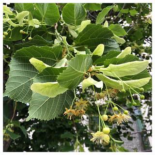 Flower and Leaf Cluster