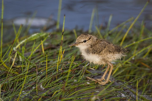 Spotted Sandpiper - Youngster