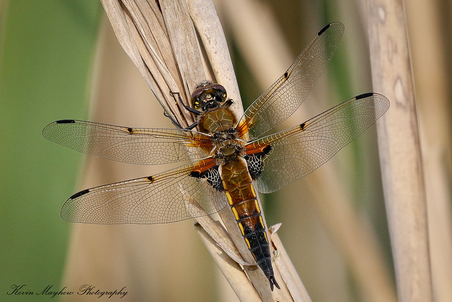 Four-spotted Chaser_82A4343