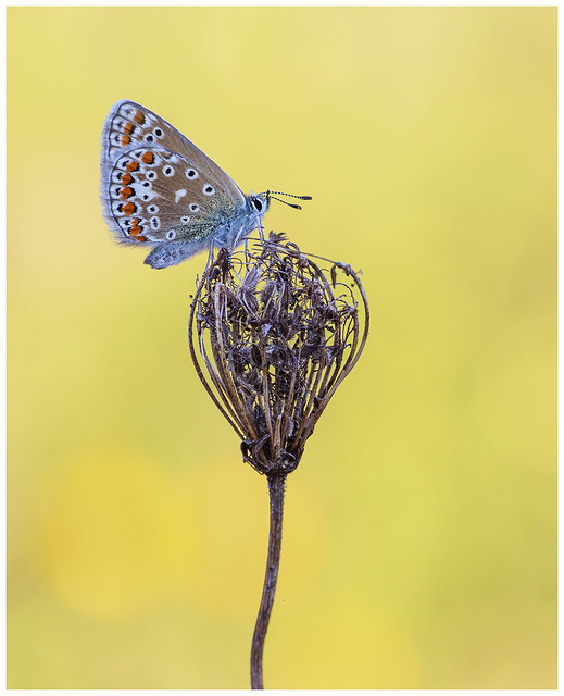 Common Blue - Polyommatus icarus.