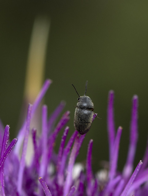 Really small beetle on a thistle flower.