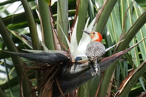 Male red bellied woodpecker in Bird-of-Paradise tree