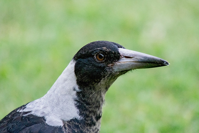 Young Australian Magpie.