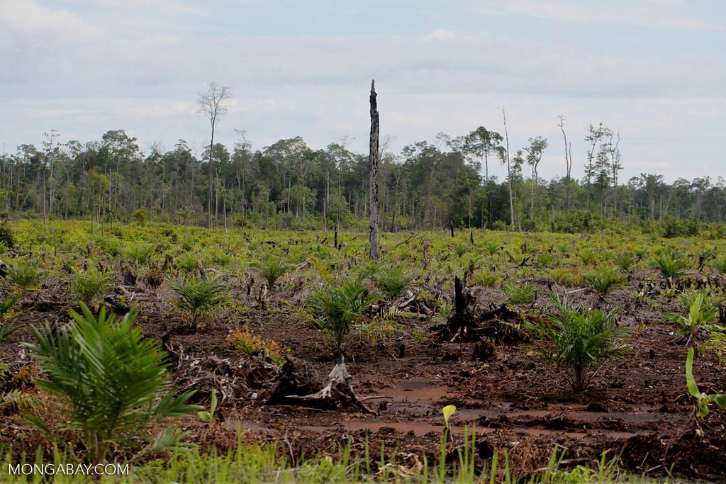 在中加里曼丹新闢的油棕種植地 Newly established oil palm plantation in Central Kalimantan