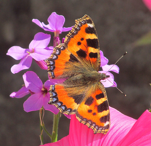 Small Tortoiseshell Butterfly (Aglais urticae) 2020-05-30. Aberkenfig, South Wales