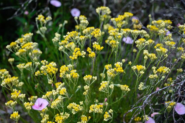 Immortelle d'Italie ..Helychrysum