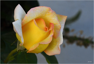 Peace Rose & Aphid