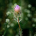 N3ptun0 posted a photo:Purple Thistle (Cirsium horridulum).Shark Valley, Everglades