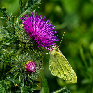 Butterfly and Bug on Thistle