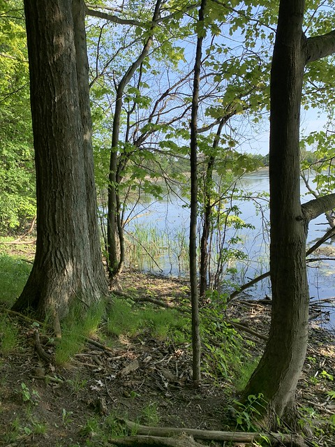 Trees in the woods near the shore of Duffins creek and Duffins Marsh in Discovery Bay , Martin's photographs , Ajax , Ontario , Canada , June 2. 2020