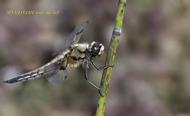 Four spotted darter / Libellule à quatre taches