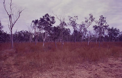 Sida cordifolia infestation, Glendale, Haughton River, southeast of Townsville, QLD, 02/07/99