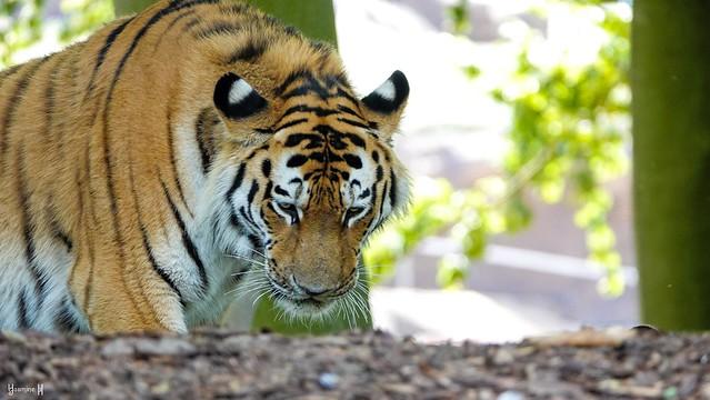Tiger - 8507