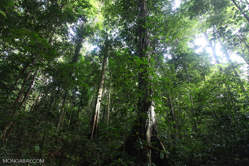 位於印尼西巴布亞的低地雨林 Lowland rainforest in West Papua